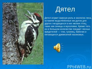Дятел Дятел играет важную роль в экологии леса, оставляя выдолбленные им дупла д