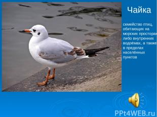 Чайка семейство птиц, обитающих на морских просторах либо внутренних водоёмах, а