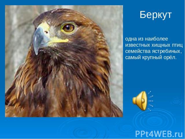 Беркут одна из наиболее известных хищных птиц семейства ястребиных, самый крупный орёл.