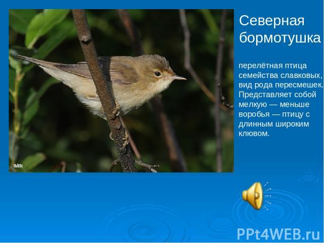 Северная бормотушка перелётная птица семейства славковых, вид рода пересмешек. Представляет собой мелкую— меньше воробья— птицу с длинным широким клювом.