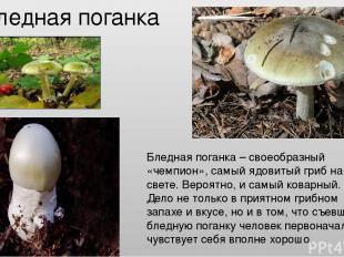 Бледная поганка Бледная поганка – своеобразный «чемпион», самый ядовитый гриб на