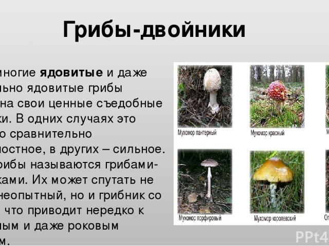 Очень многие ядовитые и даже смертельно ядовитые грибы похожи на свои ценные съедобные двойники. В одних случаях это сходство сравнительно поверхностное, в других – сильное. Такие грибы называются грибами-двойниками. Их может спутать не только неопы…