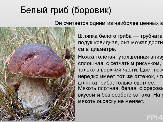 Белый гриб (боровик) Он считается одним из наиболее ценных видов грибов. Шляпка белого гриба — трубчатая, подушковидная, она может достигать 20 см в диаметре. Ножка толстая, утолщенная внизу, сплошная, с сетчатым рисунком, иногда только в верхней ча…