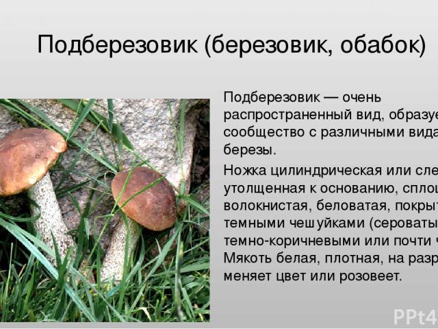 Подберезовик (березовик, обабок) Подберезовик — очень распространенный вид, образует сообщество с различными видами березы. Ножка цилиндрическая или слегка утолщенная к основанию, сплошная, волокнистая, беловатая, покрытая темными чешуйками (сероват…