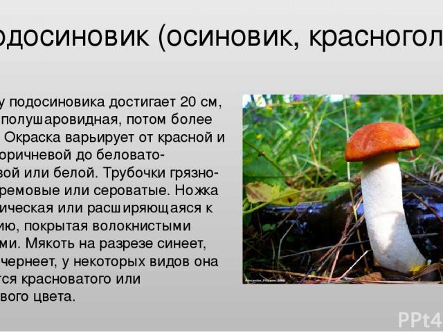 Подосиновик (осиновик, красноголовик) Шляпка у подосиновика достигает 20 см, сначала полушаровидная, потом более плоская. Окраска варьирует от красной и красно-коричневой до беловато-коричневой или белой. Трубочки грязно-белые, кремовые или сероваты…