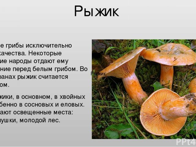 Рыжик Рыжик Съедобные грибы исключительно высокого качества. Некоторые европейские народы отдают ему предпочтение перед белым грибом. Во многих странах рыжик считается деликатесом. Растут рыжики, в основном, в хвойных лесах, особенно в сосновых и ел…