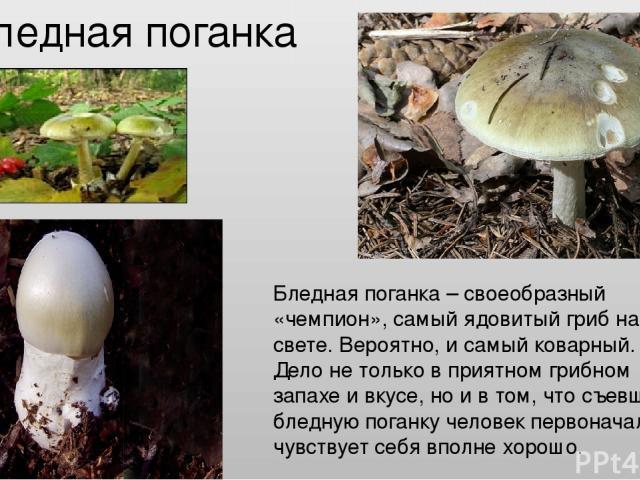 Бледная поганка Бледная поганка – своеобразный «чемпион», самый ядовитый гриб на свете. Вероятно, и самый коварный. Дело не только в приятном грибном запахе и вкусе, но и в том, что съевший бледную поганку человек первоначально чувствует себя вполне…
