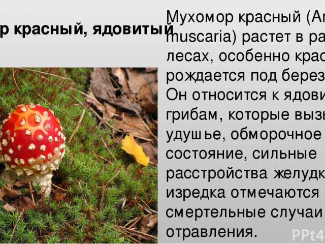 Мухомор красный (Amanita muscaria) растет в разных лесах, особенно красивым рождается под березами. Он относится к ядовитым грибам, которые вызывают удушье, обморочное состояние, сильные расстройства желудка, изредка отмечаются смертельные случаи от…