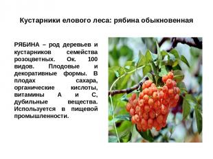 Кустарники елового леса: рябина обыкновенная РЯБИНА – род деревьев и кустарников