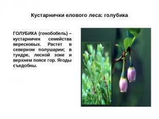 Кустарнички елового леса: голубика ГОЛУБИКА (гонобобель) – кустарничек семейства