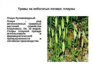 Травы на небогатых почвах: плауны Плаун булавовидный. Плаун – род вечнозеленых т