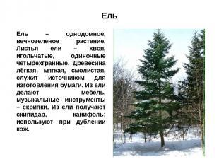 Ель Ель – однодомное, вечнозеленое растение. Листья ели – хвоя, игольчатые, один