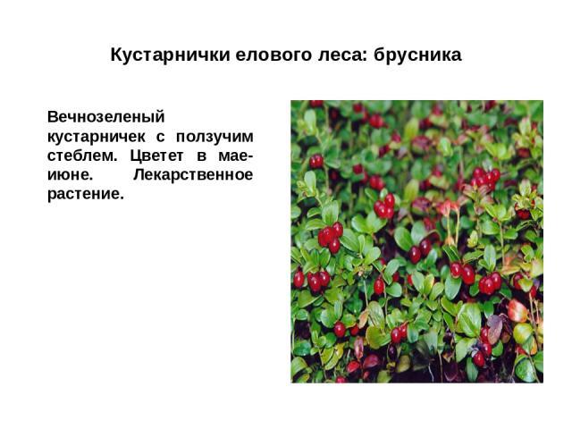 Кустарнички елового леса: брусника Вечнозеленый кустарничек с ползучим стеблем. Цветет в мае-июне. Лекарственное растение.