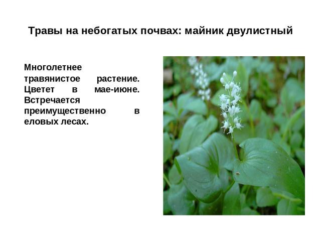 Травы на небогатых почвах: майник двулистный Многолетнее травянистое растение. Цветет в мае-июне. Встречается преимущественно в еловых лесах.