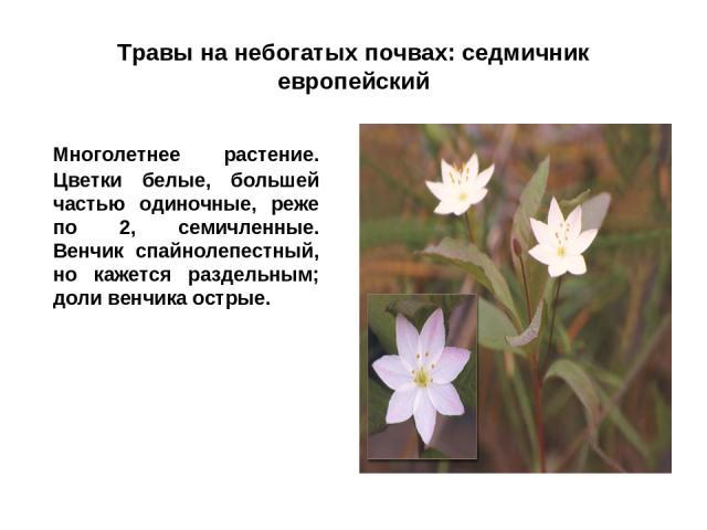 Травы на небогатых почвах: седмичник европейский Многолетнее растение. Цветки белые, большей частью одиночные, реже по 2, семичленные. Венчик спайнолепестный, но кажется раздельным; доли венчика острые.