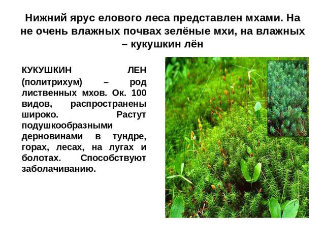 Нижний ярус елового леса представлен мхами. На не очень влажных почвах зелёные мхи, на влажных – кукушкин лён КУКУШКИН ЛЕН (политрихум) – род лиственных мхов. Ок. 100 видов, распространены широко. Растут подушкообразными дерновинами в тундре, горах,…