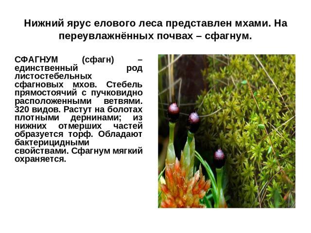 Нижний ярус елового леса представлен мхами. На переувлажнённых почвах – сфагнум. СФАГНУМ (сфагн) – единственный род листостебельных сфагновых мхов. Стебель прямостоячий с пучковидно расположенными ветвями. 320 видов. Растут на болотах плотными дерни…