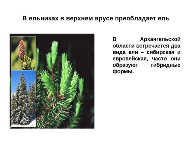 В ельниках в верхнем ярусе преобладает ель В Архангельской области встречается два вида ели – сибирская и европейская, часто они образуют гибридные формы.