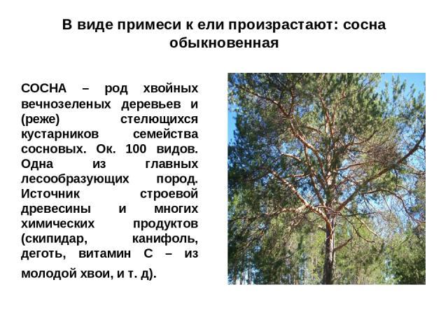 В виде примеси к ели произрастают: сосна обыкновенная СОСНА – род хвойных вечнозеленых деревьев и (реже) стелющихся кустарников семейства сосновых. Ок. 100 видов. Одна из главных лесообразующих пород. Источник строевой древесины и многих химических …