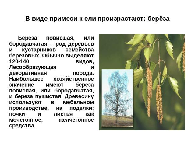 В виде примеси к ели произрастают: берёза Береза повисшая, или бородавчатая – род деревьев и кустарников семейства березовых. Обычно выделяют 120-140 видов, Лесообразующая и декоративная порода. Наибольшее хозяйственное значение имеют береза повисла…