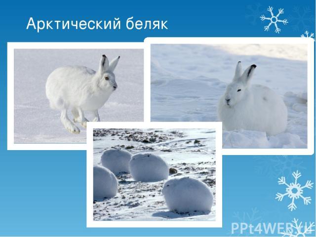Арктический беляк