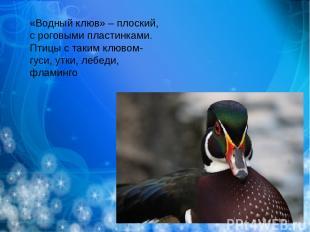 «Водный клюв» – плоский, с роговыми пластинками. Птицы с таким клювом- гуси, утк