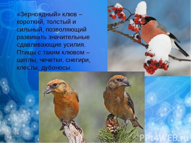 «Зерноядный» клюв – короткий, толстый и сильный, позволяющий развивать значительные сдавливающие усилия. Птицы с таким клювом – щеглы, чечетки, снегири, клесты, дубоносы.