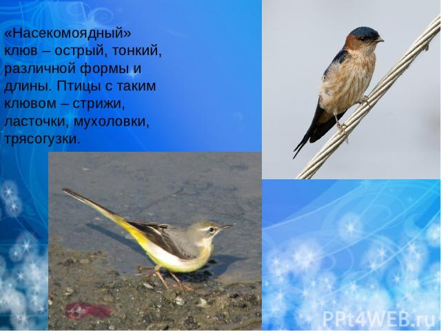 «Насекомоядный» клюв – острый, тонкий, различной формы и длины. Птицы с таким клювом – стрижи, ласточки, мухоловки, трясогузки.