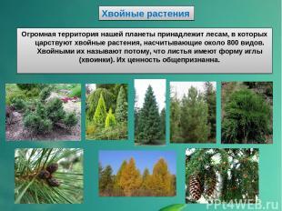 Хвойные растения Огромная территория нашей планеты принадлежит лесам, в которых