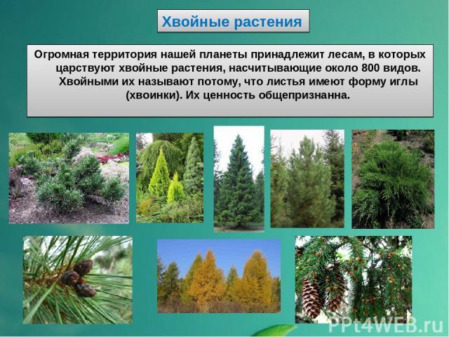 Хвойные растения Огромная территория нашей планеты принадлежит лесам, в которых царствуют хвойные растения, насчитывающие около 800 видов. Хвойными их называют потому, что листья имеют форму иглы (хвоинки). Их ценность общепризнанна.