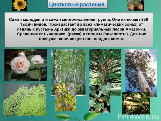 Цветковые растения Самая молодая и и самая многочисленная группа. Она включает 250 тысяч видов. Произрастает во всех климатических зонах: от ледяных пустынь Арктики до экваториальных лесов Амазонки. Среди них есть карлики (ряска) и гиганты (эвкалипт…