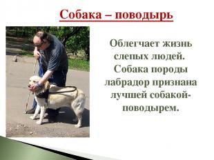 Собака – поводырь Облегчает жизнь слепых людей. Собака породы лабрадор признана