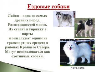 Ездовые собаки Лайки – одна из самых древних пород. Разновидностей много. Их ста