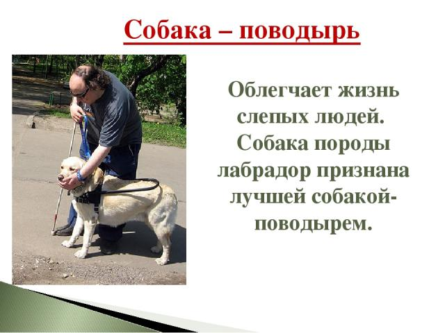 Собака – поводырь Облегчает жизнь слепых людей. Собака породы лабрадор признана лучшей собакой-поводырем.