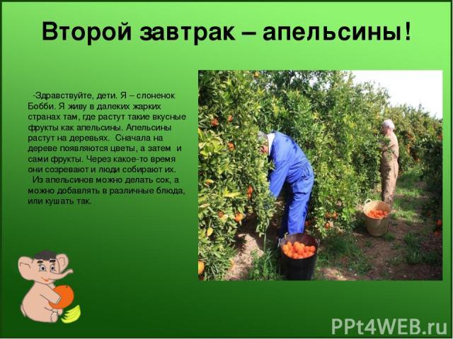 Второй завтрак – апельсины! -Здравствуйте, дети. Я – слоненок Бобби. Я живу в далеких жарких странах там, где растут такие вкусные фрукты как апельсины. Апельсины растут на деревьях. Сначала на дереве появляются цветы, а затем и сами фрукты. Через к…