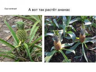 А вот так растёт ананас Ещё зелёный уже спелый
