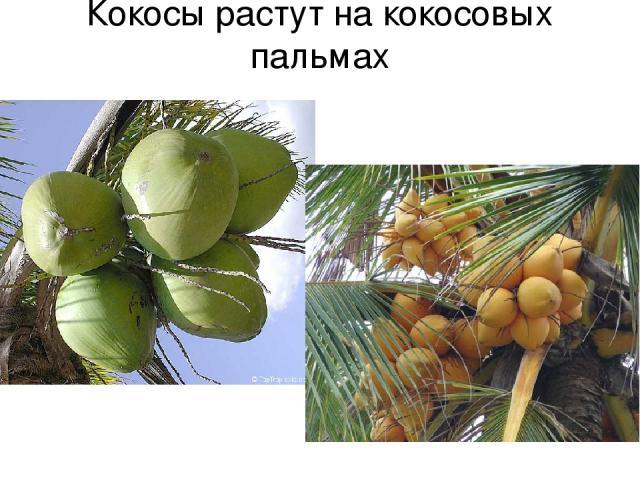 Кокосы растут на кокосовых пальмах