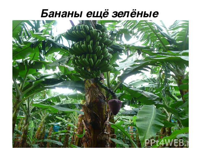 Бананы ещё зелёные