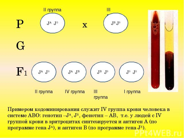 Примером кодоминирования служит IV группа крови человека в системе АВО: генотип –JA, JB, фенотип – АВ, т.е. у людей с IV группой крови в эритроцитах синтезируется и антиген А (по программе гена JA), и антиген В (по программе гена JB). Р х II группа …