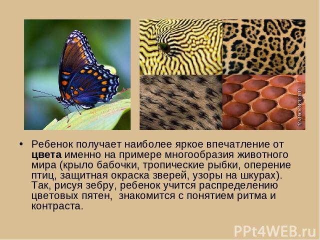 Ребенок получает наиболее яркое впечатление от цвета именно на примере многообразия животного мира (крыло бабочки, тропические рыбки, оперение птиц, защитная окраска зверей, узоры на шкурах). Так, рисуя зебру, ребенок учится распределению цветовых п…