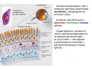 Человек воспринимает свет с помощью цветовых рецепторов (колбочек), находящихся