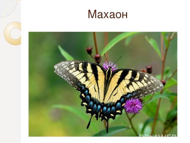 Махаон