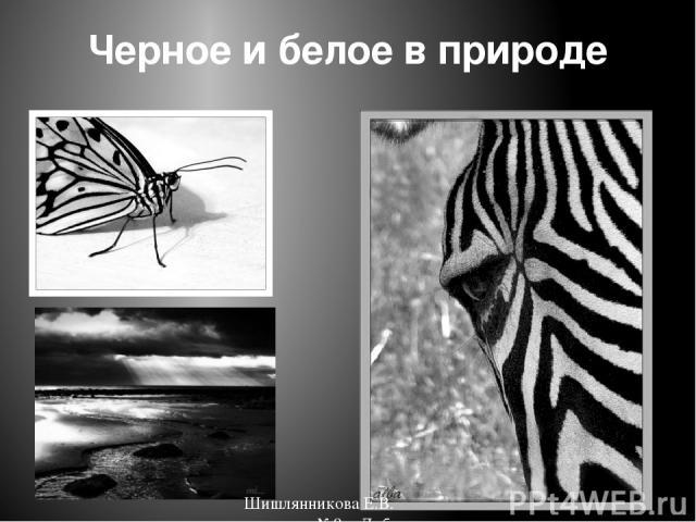Черное и белое в природе Шишлянникова Е.В. гимназия №8 г. Дубна Московская обл.
