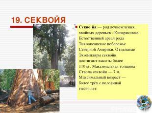 19. СЕКВОЙЯ Секво йя— род вечнозеленых хвойных деревьев - Кипарисовые. Естестве