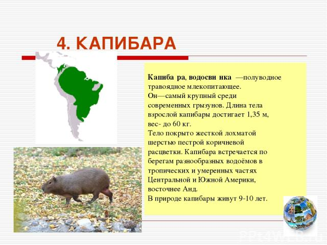4. КАПИБАРА Капиба ра, водосви нка —полуводное травоядное млекопитающее. Он—самый крупный среди современных грызунов. Длина тела взрослой капибары достигает 1,35 м, вес- до 60 кг. Тело покрыто жесткой лохматой шерстью пестрой коричневой расцветки. К…