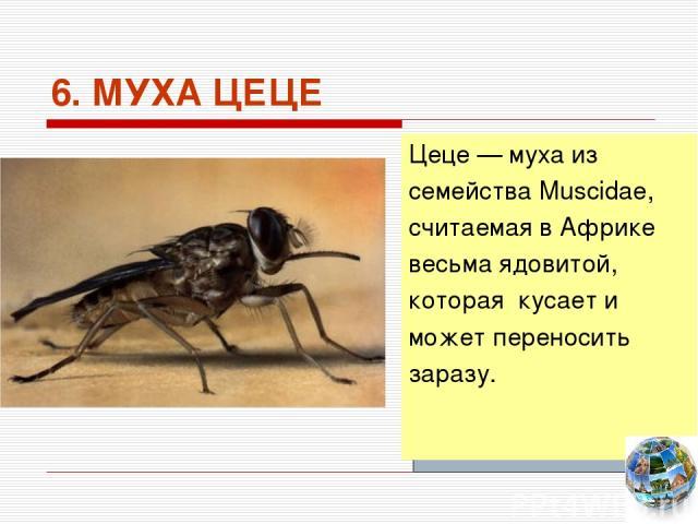 6. МУХА ЦЕЦЕ Цеце — муха из семейства Muscidae, считаемая в Африке весьма ядовитой, которая кусает и может переносить заразу.