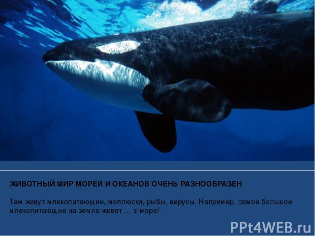 ЖИВОТНЫЙ МИР МОРЕЙ И ОКЕАНОВ ОЧЕНЬ РАЗНООБРАЗЕН Там живут млекопитающие, моллюски, рыбы, вирусы. Например, самое большое млекопитающие на земле живет … в море!
