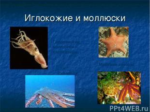 Иглокожие и моллюски Морские звезды Головоногие моллюски – каракатица… …и осьмин