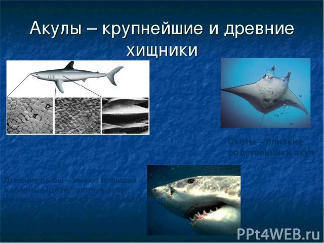 Акулы – крупнейшие и древние хищники Древние рыбы – имеют большие жаберные щели, острые зубы, меняющиеся всю жизнь, своеобразную чешую. Скаты – близкие родственники акул