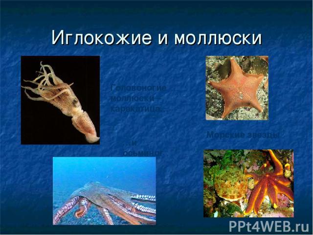 Иглокожие и моллюски Морские звезды Головоногие моллюски – каракатица… …и осьминог